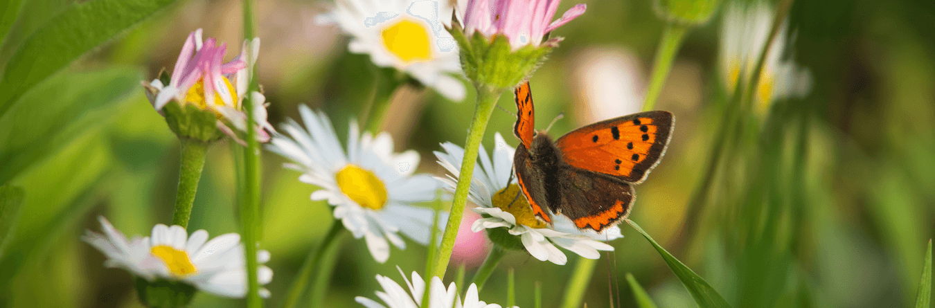 butterfly and daisy's